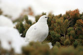 Rock Ptarmigan (Lagopus muta) winter plumage in Japan — Stock Photo