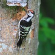 Stock Photo: Lesser Spotted Woodpecker (Dendrocopos minor) nesting in Hokkaido, Japan