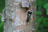 Lesser Spotted Woodpecker (Dendrocopos minor) nesting in Hokkaido, Japan — Foto Stock