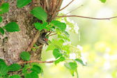 Grey-headed Woodpecker  Picus canus  nesting in Japan — Stock Photo