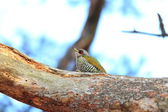 Japanese green woodpecker (Picus awokera) in Japan — Stockfoto