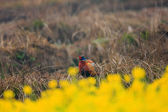 Common pheasant  Phasianus colchicus  in China — Stock Photo