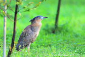 Malaysian night heron (Gorsachius melanolophus) in Taiwan — Stock Photo
