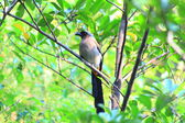 Grey Treepie or Himalayan Treepie (Dendrocitta formosae) in Taiwan — Stock Photo