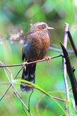 White-whiskered Laughingthrush (Trochalopteron morrisonianum) in Taiwan — Foto Stock