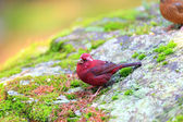 Vinaceous Rosefinch (Carpodacus vinaceus) in Taiwan — Stock Photo