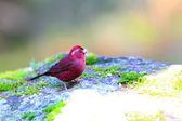 Vinaceous Rosefinch (Carpodacus vinaceus) in Taiwan — Stock Photo