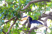 Malabar Pied Hornbill (Anthracoceros coronatus) in Udawalawa N.P , Sri Lanka — Stock Photo