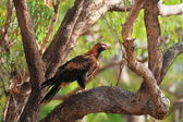 Wedge-tailed Eagle (Aquila audax) in Australia — Foto de Stock