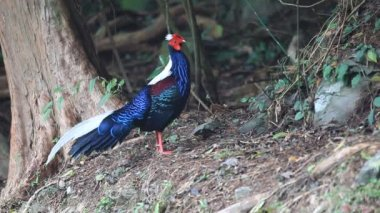 Swinhoe's Pheasant Dasyueshan (Lophura swinhoii) in National Forest Recreation Area, taiwan — Stockvideo