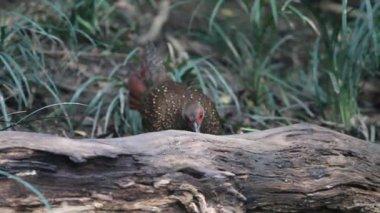 Dasyueshan faisán de swinhoe (lophura swinhoii) en el bosque nacional de áreas de recreación, taiwán — Vídeo de stock