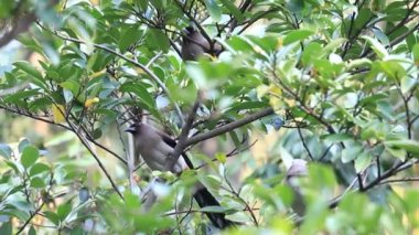 Grey Treepie or Himalayan Treepie (Dendrocitta formosae) in Taiwan — Vídeo de Stock