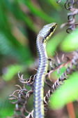 Common Bronzeback Tree Snake (Dendrelaphis tristis) in Sri lanka — Foto de Stock