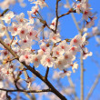Japanese Cherry blossoms tree or sakura in Japan — Stock Photo