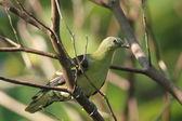 在菲律宾北部吕宋的菲律宾绿鸠 (treron 酸枣 — 图库照片