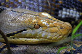Reticulated python (Python reticulatus) in Thailand — Stock Photo