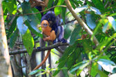 The Dusky leaf monkey (Trachypithecus obscurus) in Thailand — Stock Photo