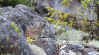 Northen Pika ,rock rabbit,whistling hare,Ochotona hyperborea in Hokkaido, Japan — Stock Video