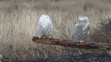 Snowy Owl (Bubo scandiacus) in Vancouver, Canada — Stock Video