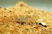 Rhinogobius giurinus goby fish in Japan — Stock Photo