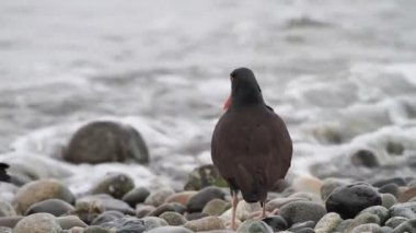 Black Oystercatcher (Haematopus bachmani) in Vancouver, Canada — Stock video
