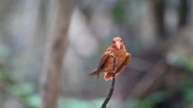 Ruddy Kingfisher (Halcyon coromanda) in Ryukyu Island, Okinawa, South Japan — Stock Video