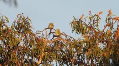 Golden-shouldered parrot (Psephotus chrysopterygius) in Lake Filed National Park, Australia — Stock Video