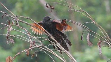 Philippine Coucal (Centropus viridis) in Mindanao,Philippines — Stock Video