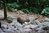 Musky Rat-kangaroo (Hypsiprymnodon moschatus) in atherton tableland, Australia — Stock Photo