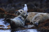 Spotted Seal (Phoca largha) in Hokkaido, Japan — Stockfoto