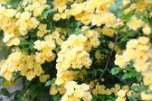 Banksia rose (Rosa banksiae) in Japan — Stock Photo