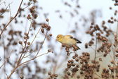 American Goldfinch (Carduelis tristis) in North America — Stock Photo