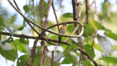 Palawan Blue Flycatcher (Cyornis lemprieri) male in Palawan, Philippines — Stock video