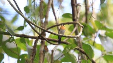 Palawan Blue Flycatcher (Cyornis lemprieri) male in Palawan, Philippines — 图库视频影像