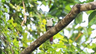 Black-chinned Fruit Dove (Ptilinopus leclancheri) in Palawan, Philippines — Stock Video