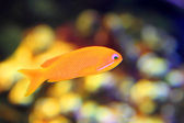 Pink fairy basslett  Pseudanthias hypselosoma  female — Stock Photo
