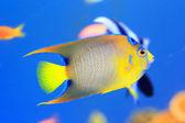 Queen angelfish (Holacanthus ciliaris) — Foto de Stock