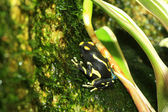 Dyeing poison dart frog (Dendrobates tinctorius) — Stock Photo