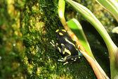 Dyeing poison dart frog (Dendrobates tinctorius) — Stock Photo