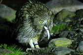 Blakiston's Fish Owl (Bubo blakistoni) in Hokkaido, Japan — Stock Photo