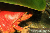 False tomato frog (Dyscophus guineti) hidden in the leaf — Stock Photo