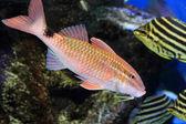 Whitesaddle goatfish (Parupeneus ciliatus) in Japan — Stock Photo