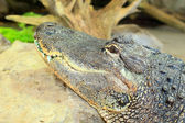 American alligatorn (Alligator mississippiensis) — Stock Photo