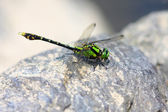 Nihonogomphus viridis dragonfly in Japan — Photo