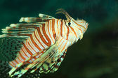 Luna lionfish (Pterois lunulata) in Japan — Stock Photo