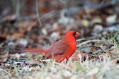 Northern Cardinal (Cardinalis cardinalis floridanus) in Florida, North America — Stock Photo