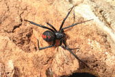 Red-back widow spider (Latrodectus hasseltii) in Japan — Stock Photo