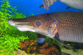 Alligator gar (Atractosteus spatula) in North America — ストック写真