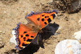 Scarce tortoiseshell butterfly (Nymphalis xanthomelas japonica) in Japan — Stock Photo