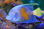 Halfmoon angelfish (Pomacanthus maculosus) — Stock Photo
